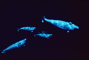 Beluga (Delphinapterus leucas) curious group, Lancaster Sound, Nunavut, Canada  -  Flip Nicklin