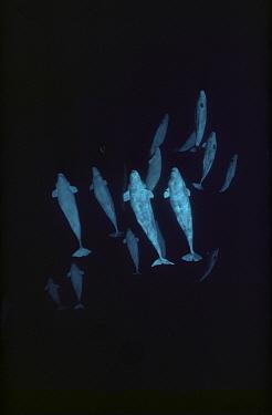 Beluga (Delphinapterus leucas) group, Baffin Island, Nunavut, Canada
