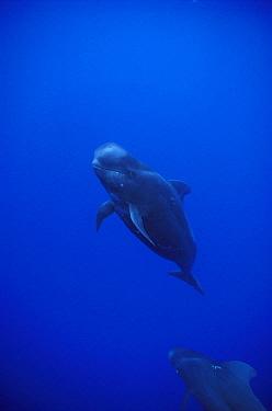 Short-finned Pilot Whale (Globicephala macrorhynchus) showing evidence of cookie cutter shark bites, Hawaii