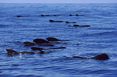 Short-finned Pilot Whale (Globicephala macrorhynchus) pod at surface, Hawaii  -  Flip Nicklin