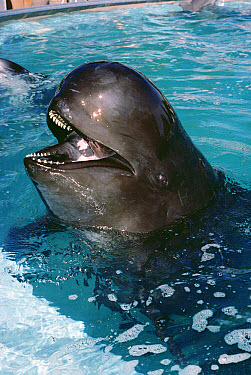Long-finned Pilot Whale (Globicephala melas) adult portrait  -  Flip Nicklin