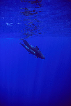 Short-finned Pilot Whale (Globicephala macrorhynchus) pair swimming together, Hawaii  -  Flip Nicklin