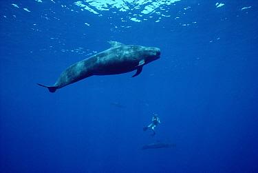 Short-finned Pilot Whale (Globicephala macrorhynchus) with diver in background, Hawaii  -  Flip Nicklin