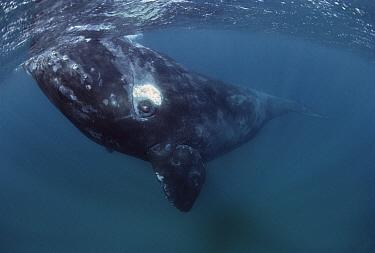Southern Right Whale (Eubalaena australis), Peninsula Valdez, Argentina