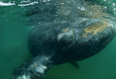 Southern Right Whale (Eubalaena australis), Argentina
