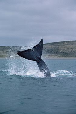 Southern Right Whale (Eubalaena australis) tail lob, Peninsula Valdez, Argentina  -  Flip Nicklin