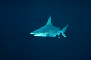 Sandbar Shark (Carcharhinus plumbeus) underwater portrait, bottom-dwelling coastal species, worldwide distribution  -  Flip Nicklin