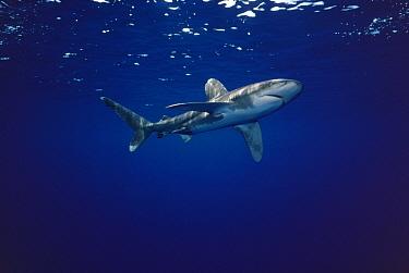 Oceanic White-tip Shark (Carcharhinus longimanus) underwater portrait, North America  -  Flip Nicklin