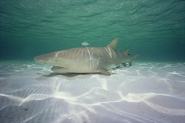 Lemon Shark (Negaprion acutidens) portrait, occurs in the Pacific Ocean from southern California to Ecuador and Atlantic coastal waters of the Caribbean  -  Flip Nicklin