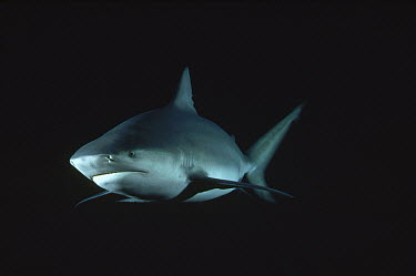 Bull Shark (Carcharhinus leucas) underwater portrait, North America  -  Flip Nicklin