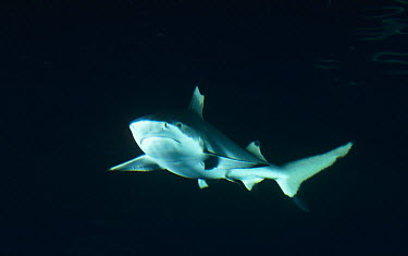 Black-tip Reef Shark (Carcharhinus melanopterus) underwater portrait, North America  -  Flip Nicklin