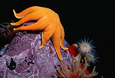 Sun Star, Anemones and Coralline Algae, Arctic  -  Flip Nicklin