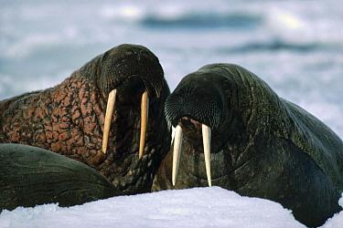 Atlantic Walrus (Odobenus rosmarus rosmarus) pair, Baffin Island, Nunavut, Canada  -  Flip Nicklin