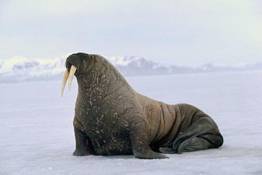 Atlantic Walrus (Odobenus rosmarus rosmarus), Baffin Island, Nunavut, Canada  -  Flip Nicklin
