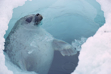 Ringed Seal (Phoca hispida) at breathing hole, Arctic  -  Flip Nicklin