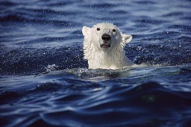 Polar Bear (Ursus maritimus) swimming, Baffin Island, Nunavut, Canada