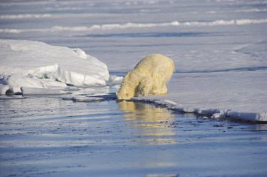 Polar Bear (Ursus maritimus) cub searching underwater for mother who is hunting, Baffin Island, Nunavut, Canada