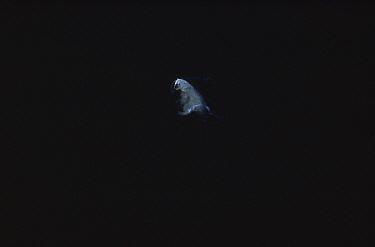 Polar Bear (Ursus maritimus) swimming in open water, Canada  -  Flip Nicklin