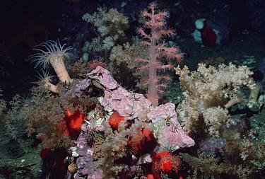 Brittle Stars with Anemones, Arctic  -  Flip Nicklin