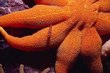 Sea Star with Red Shrimp, Baffin Island, Canada  -  Flip Nicklin
