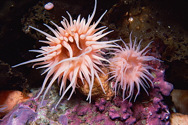 Sea anemones, Admiralty Inlet, Lancaster Sound, Nunavut, Canada