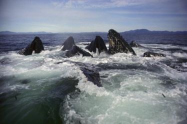 Humpback Whale (Megaptera novaeangliae) group cooperatively bubble-net feeding, Alaska  -  Michio Hoshino