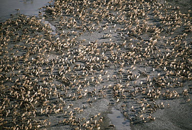 Caribou (Rangifer tarandus) herd migrating across tundra, Arctic National Wildlife Refuge, Alaska  -  Michio Hoshino