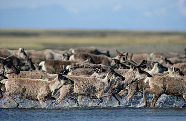Caribou (Rangifer tarandus) stampeding herd crossing river, Arctic National Wildlife Refuge, Alaska  -  Michio Hoshino
