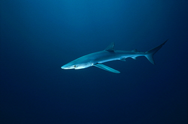Blue Shark (Prionace glauca), California