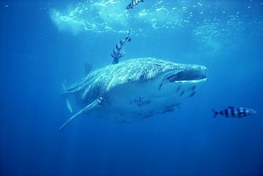 Whale Shark (Rhincodon typus) swimming underwater with symbiotic Pilot Fish (Naucrates ductor), Baja California, Mexico  -  Flip Nicklin