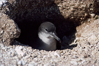 Wedge-tailed Shearwater (Puffinus pacificus) incubating egg in nesting burrow, Hawaiian Leeward Islands  -  Flip Nicklin