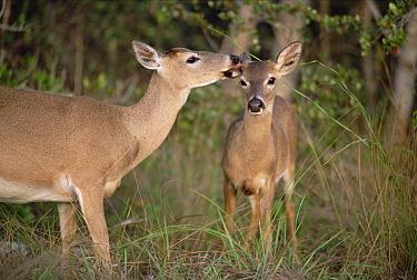 Key Deer (Odocoileus virginianus clavium) females, one grooming the other, Corkscrew Swamp, Florida  -  Jim Brandenburg
