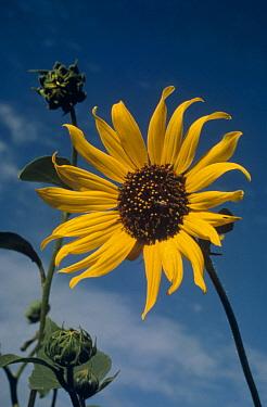 Sunflower (Helianthus petiolaris) closely related to the Common Sunflower, South Dakota  -  Jim Brandenburg