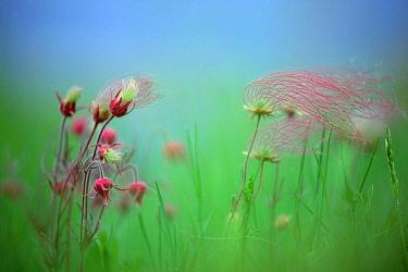 Prairie Smoke (Geum triflorum) blowing in the wind, North America  -  Jim Brandenburg