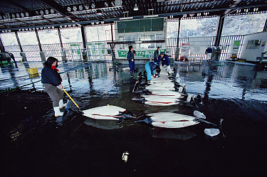 Dall's Porpoise (Phocoenoides dalli) in fishmarket with female market owner selecting meat for resale, Otsuchi harpoon fishery, northern Honshu Island, Japan  -  Flip Nicklin