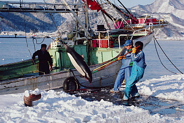 Dall's Porpoise (Phocoenoides dalli) being off-loaded from boat as part of harvest from Otsuchi harpoon fishery, Northern Honshu Island, Japan  -  Flip Nicklin