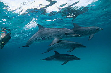 Atlantic Spotted Dolphin (Stenella frontalis) social group of well-spotted adults and lesser marked juveniles with tourist, Bahamas