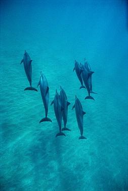 Spinner Dolphin (Stenella longirostris) group underwater, Bahamas  -  Flip Nicklin