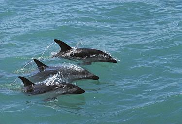 Dusky Dolphin (Lagenorhynchus obscurus) trio surfacing, Kaikoura, New Zealand