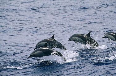 Common Dolphin (Delphinus delphis) group jumping, New Zealand  -  Flip Nicklin