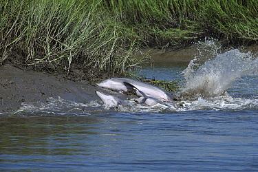 Bottlenose Dolphin (Tursiops truncatus) group chasing and catching fish on mud banks in salt marsh, South Carolina  -  Flip Nicklin