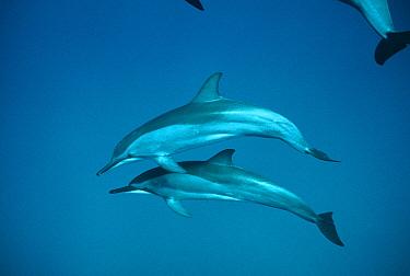 Spinner Dolphin (Stenella longirostris) pair, Brazil  -  Flip Nicklin