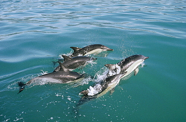Common Dolphin (Delphinus delphis) group at water surface, Kaikoura, New Zealand
