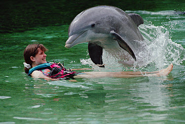 Bottlenose Dolphin (Tursiops truncatus) interacting with a female tourist, Dolphin Quest Learning Center, Hawaii  -  Flip Nicklin