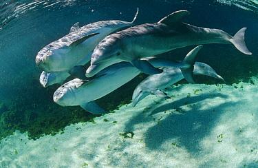 Bottlenose Dolphin (Tursiops truncatus) underwater group, Waikoloa Hyatt, Hawaii  -  Flip Nicklin