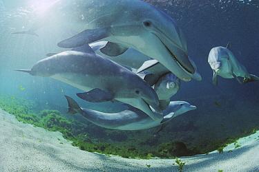 Bottlenose Dolphin (Tursiops truncatus) group, Waikoloa Hyatt, Hawaii