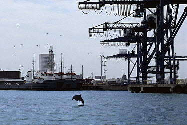 Bottlenose Dolphin (Tursiops truncatus) swimming in the heavily polluted Galveston Bay, Texas  -  Flip Nicklin