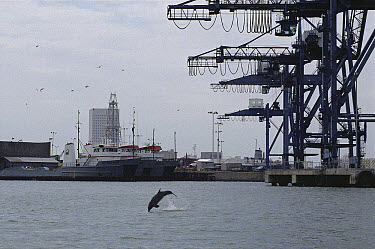 Bottlenose Dolphin (Tursiops truncatus) leaping in polluted, industrial, high traffic port of Galveston Bay, Texas  -  Flip Nicklin