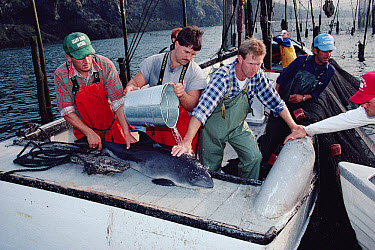 Harbor Porpoise (Phocoena phocoena) which had been accidentally caught in a herring trap being hydrated by researchers and fisherman, Bay of Fundy, animal was subsequently tagged and released, Canada  -  Flip Nicklin