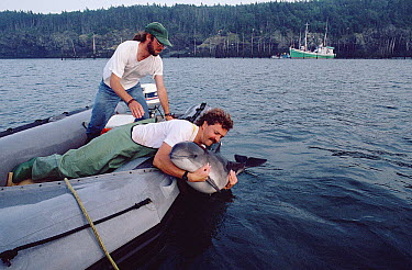 Harbor Porpoise (Phocoena phocoena) released by researcher Andrew Read which had been accidentally caught in a herring trap, Bay of Fundy, Canada  -  Flip Nicklin